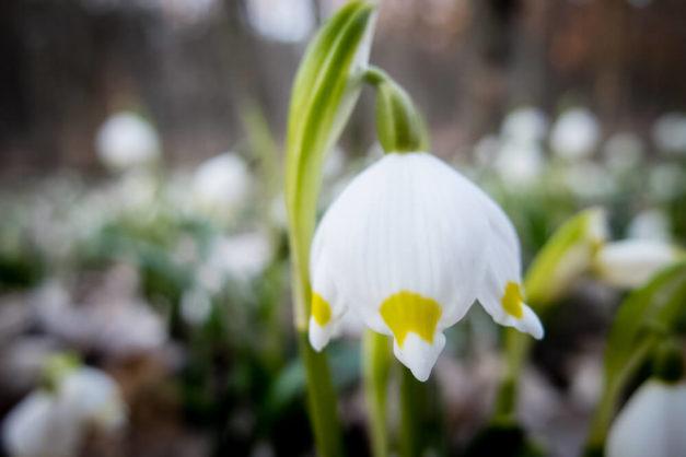 Kwitnąca śnieżyca wiosenna