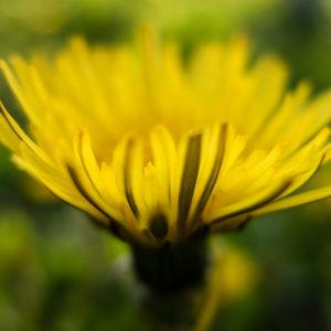 Mniszek lekarski podczas kwitnienia